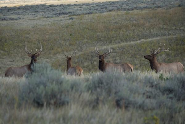 Elk, Elk Hunting, Rifle Hunting, HSM Ammo, Bull Elk, Big Bull elk, Montana, Elk country, Big Sky State,